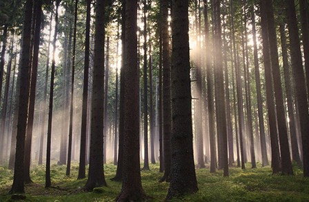 Photo of trees in a forest with sunlight.
